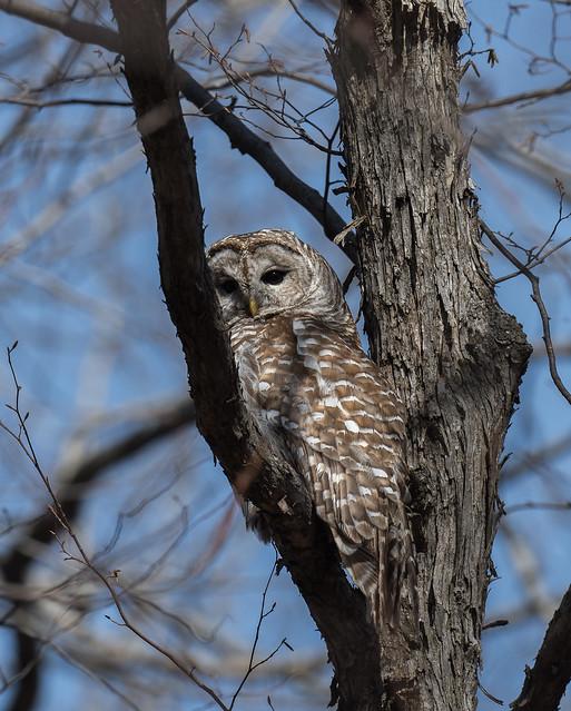 Barred Owl, Chouette rayée, Búho Barrado / Strix varia