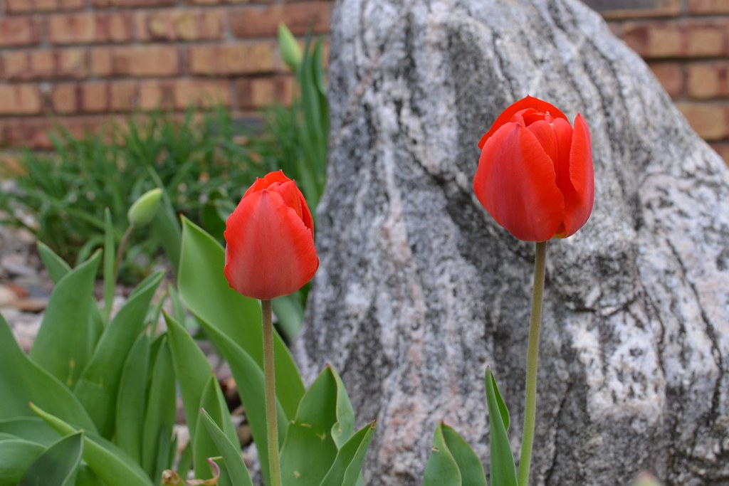 20210411 Red Tulips