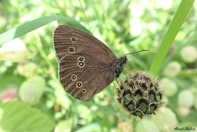 Butterfly 2093 (Aphantopus hyperantus)