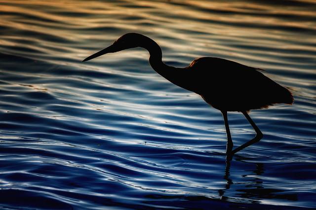 Reddish Egret (1)