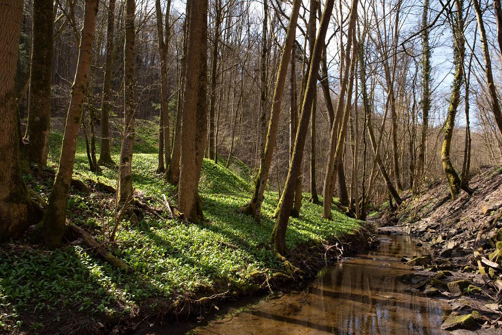 Wild Garlic in Steigerwald - Bärlauch im Steigerwald