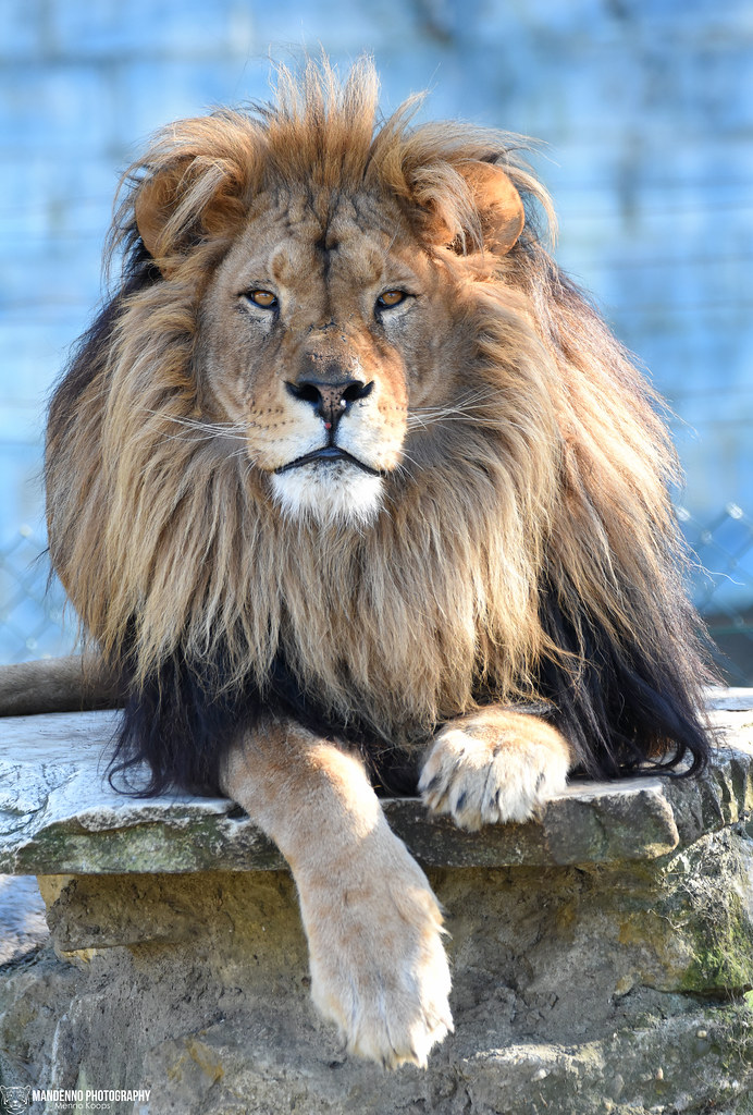 African lion - Pakawipark