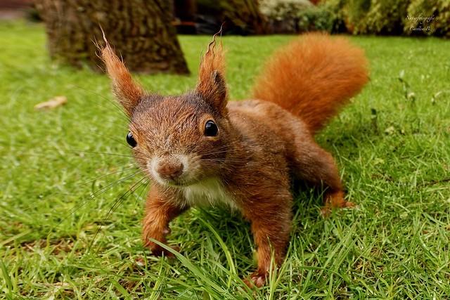 Eichhörnchen - red squirrel (Sciurus vulgaris)