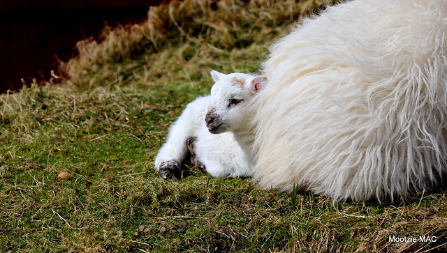 Snuggles the lamb