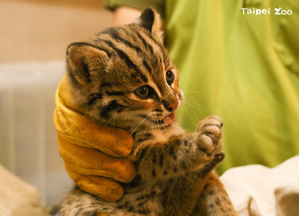 石虎「平平」的大寶「貓雄」。圖片來源:台北市立動物園提供(黃建宸攝)