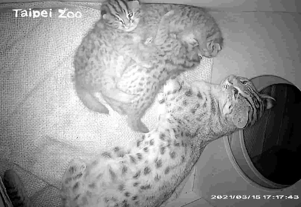 台北市立動物園喜迎石虎寶寶。石虎「平平」的大寶「貓攬」。圖片來源:台北市立動物園提供