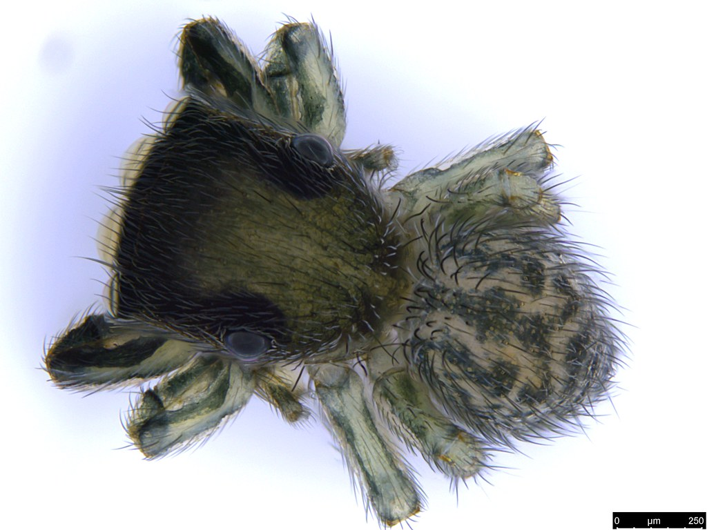 2a - Salticidae sp.