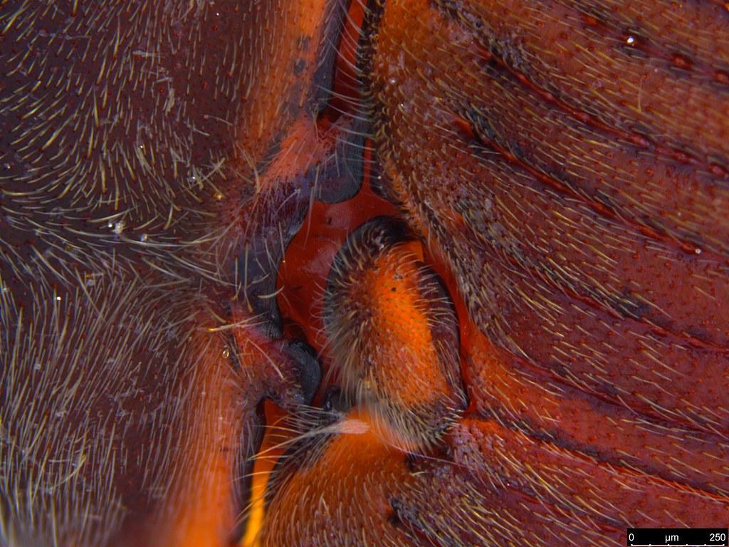 6f - Glyphochilus sp.