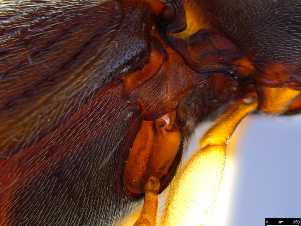 6g - Glyphochilus sp.