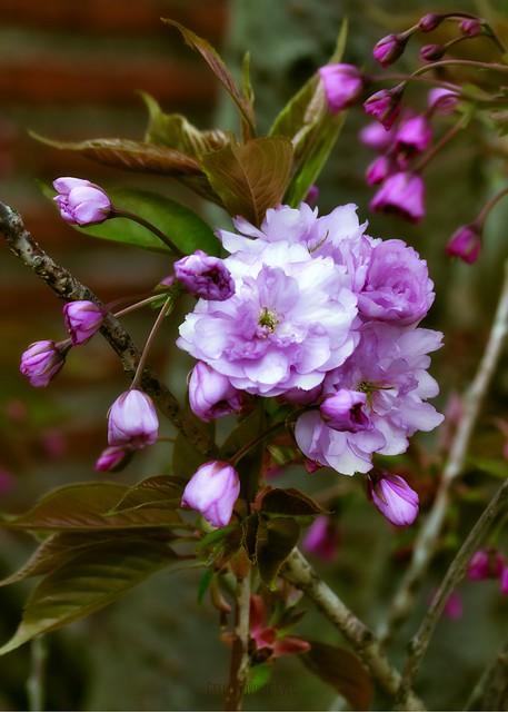 Arbuste en fleurs