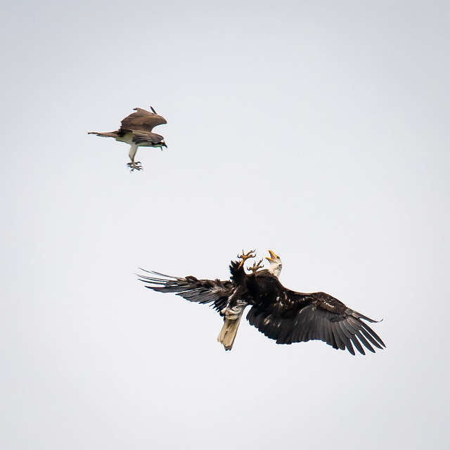Eagle and Osprey disagreement