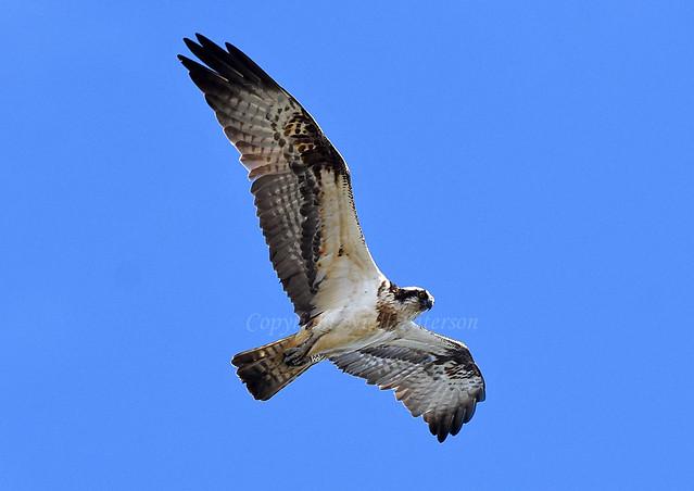 Osprey White AA