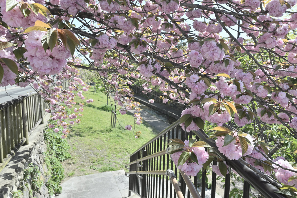 堀川遊歩道の桜並木 6