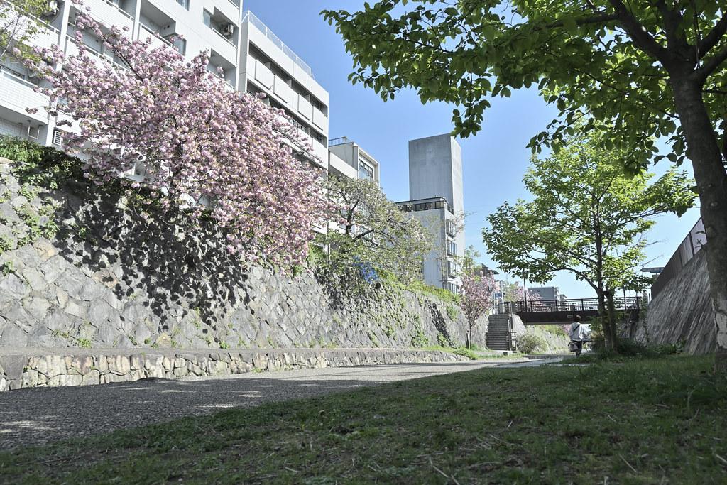 堀川遊歩道の桜並木 13