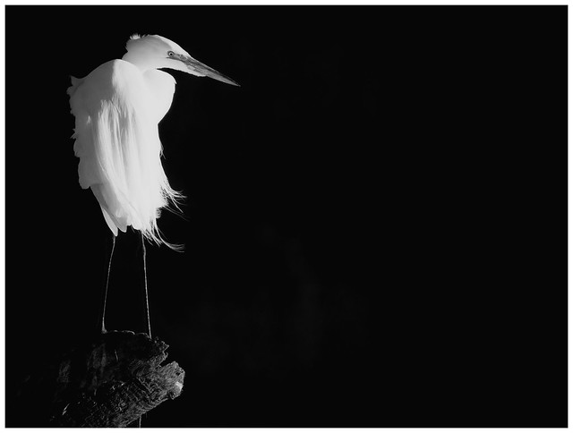 GreatEgret (10)