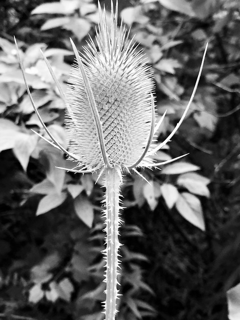 Teasels on Duffins trail in Discovery Bay , photograph converted to black and white , Martin's photography's , Ajax , Ontario , Canada , July 30. 2019