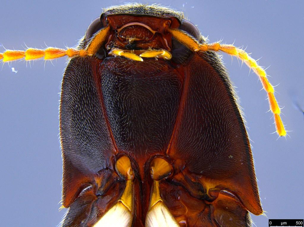6d - Glyphochilus sp.