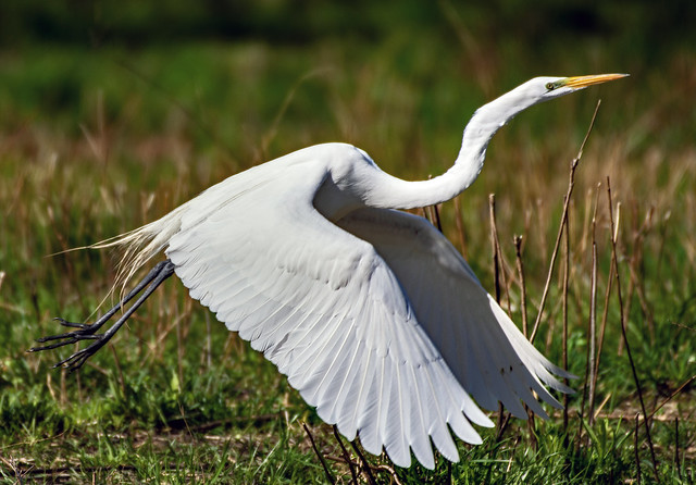 Great Egret ge_BSW9948