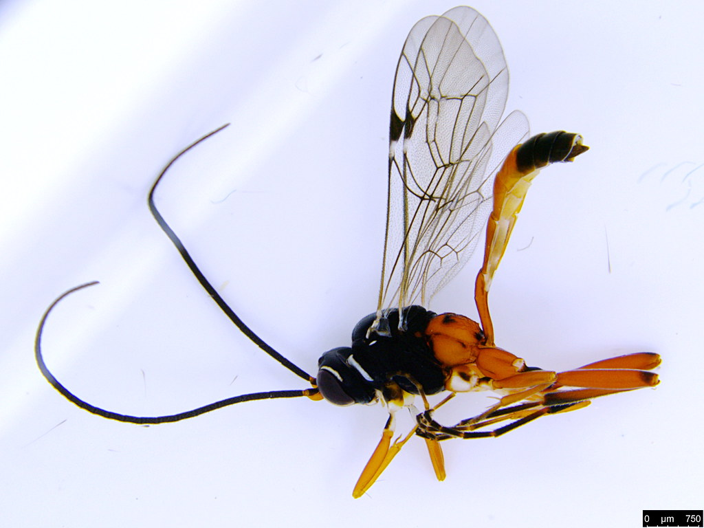 15 - Ichneumonidae sp.
