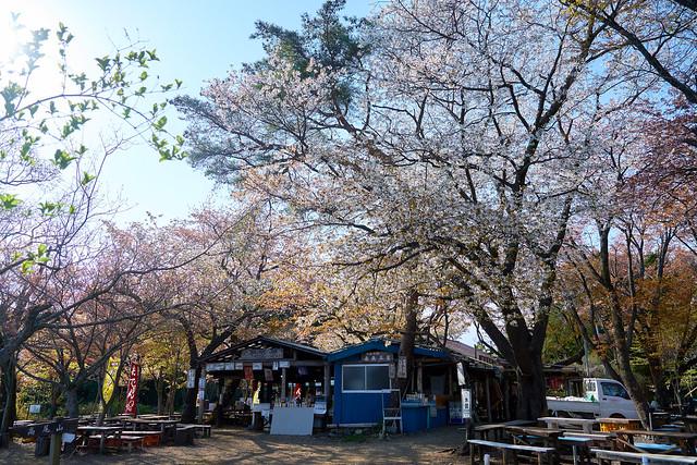 小仏城山の桜