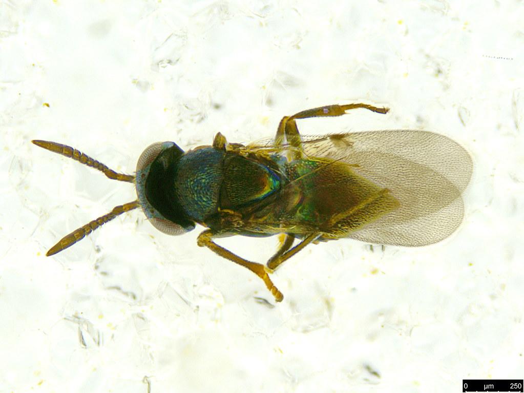 30a - Encyrtidae sp.