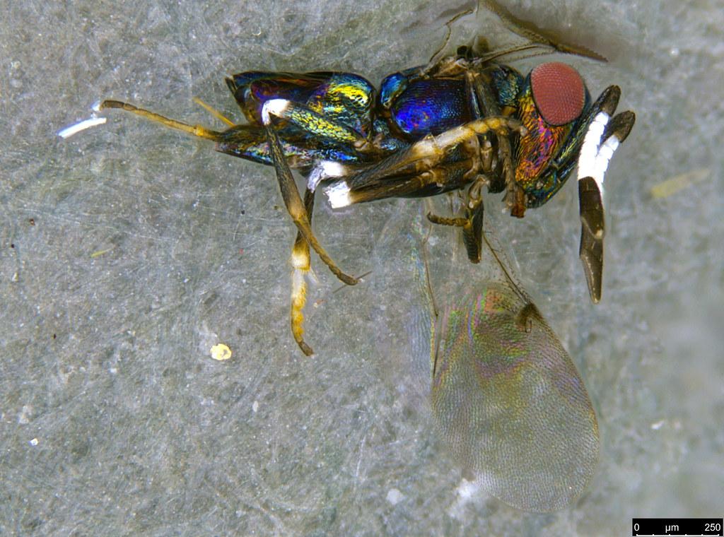 31e - Hymenoptera sp.