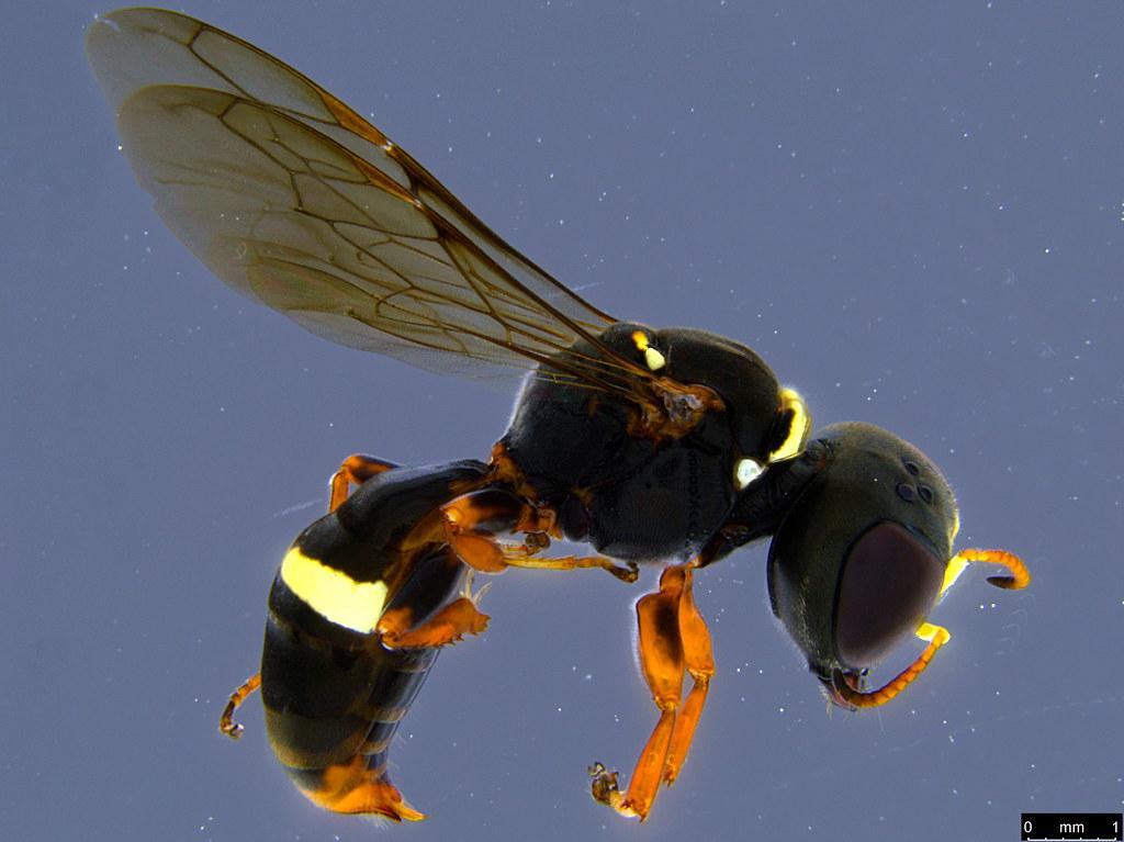 34a - Crabronidae sp.