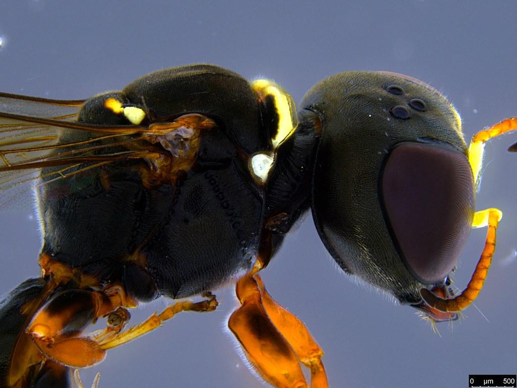 34b - Crabronidae sp.