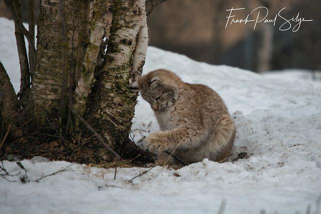 Playful Lynx (Explored)
