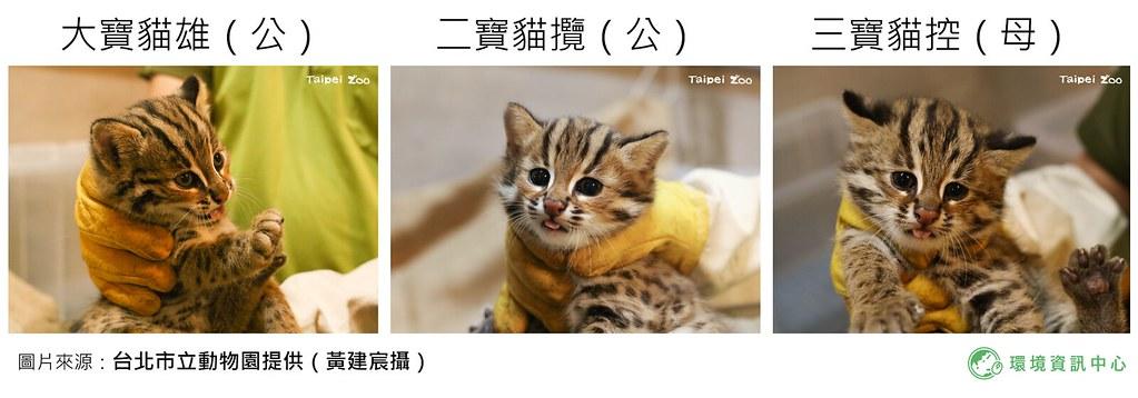 台北市立動物園喜迎石虎三胞胎