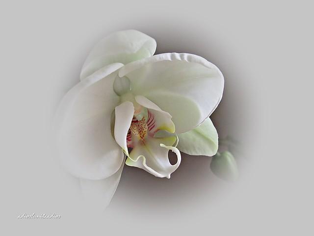 Sutileza , nueve años una orquídea dando flor. l 010