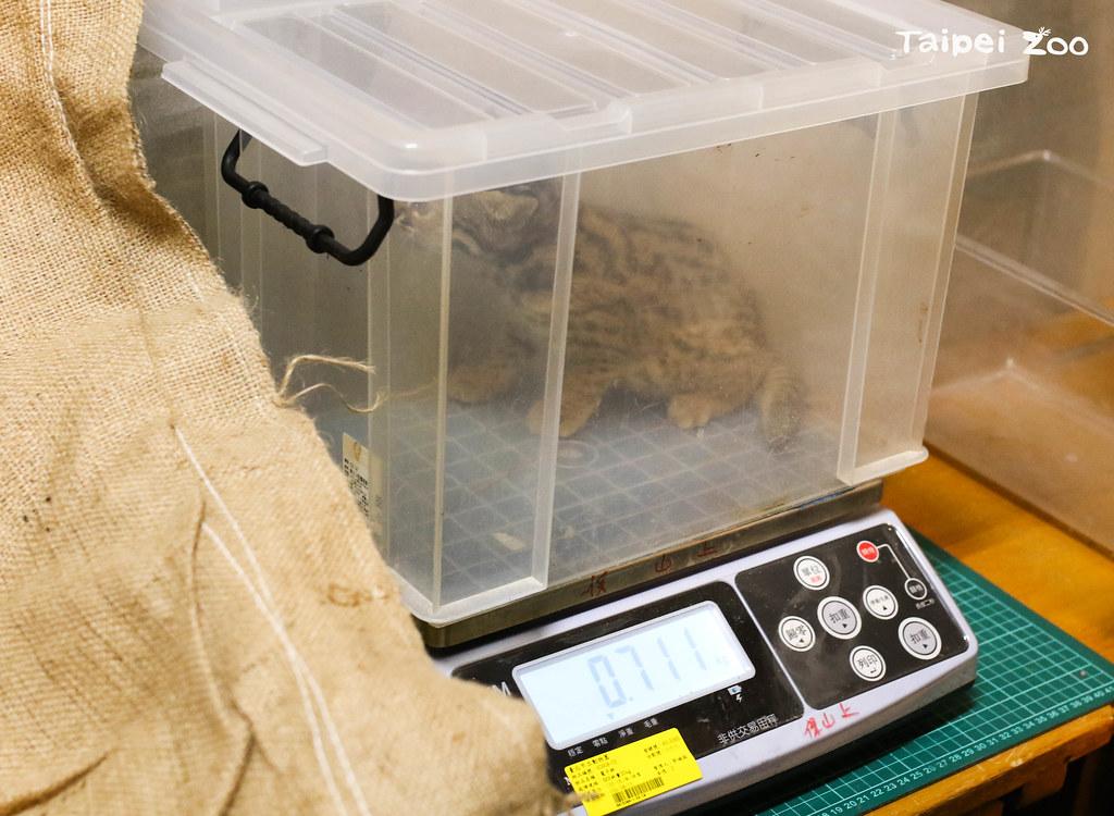 石虎寶寶量體重。圖片來源:台北市立動物園提供(黃建宸攝)