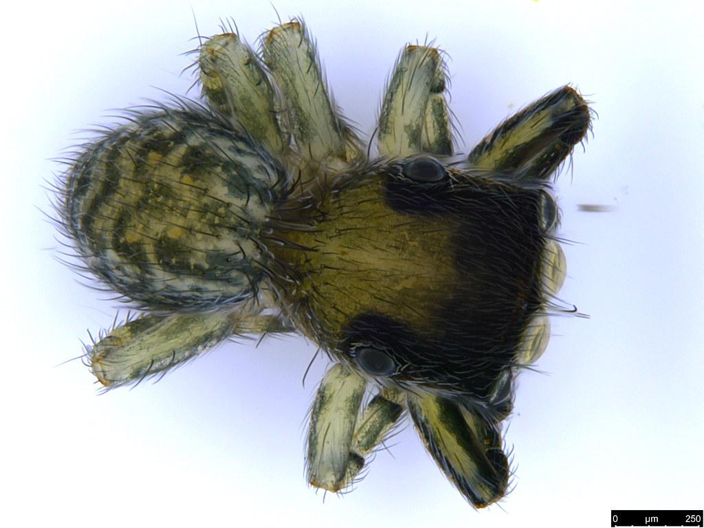1 - Salticidae sp.