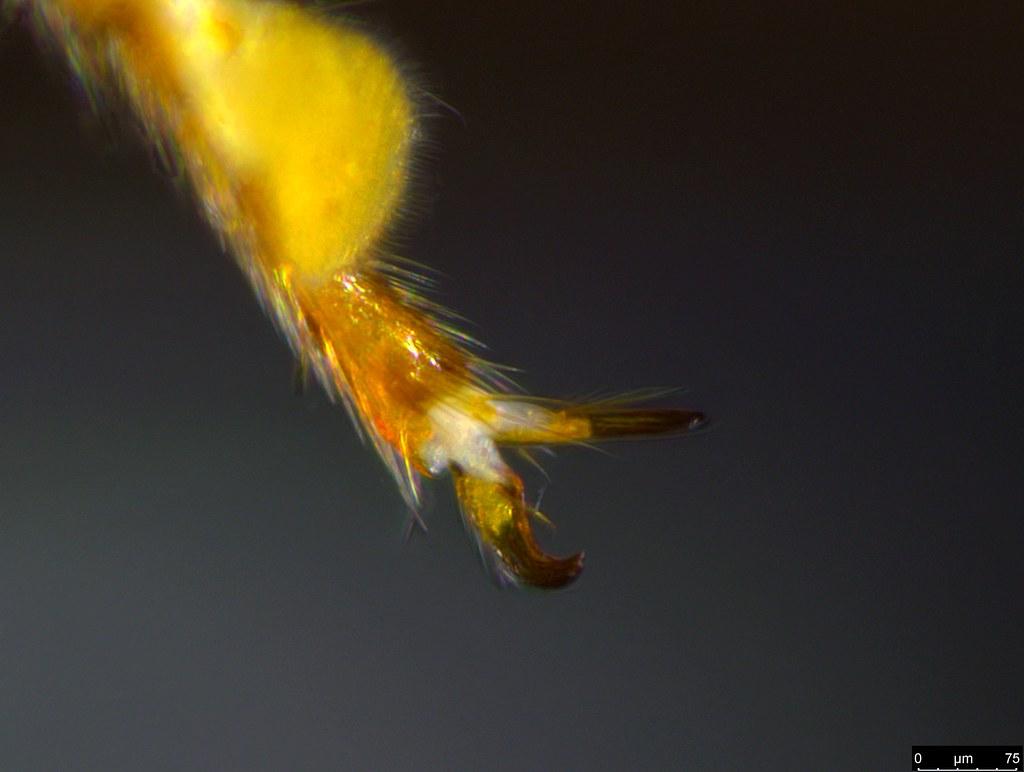 6j - Glyphochilus sp.