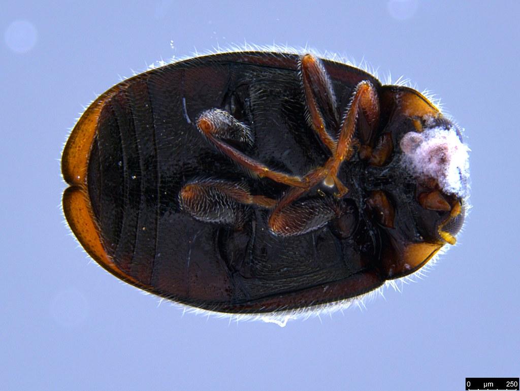 7b - Coccinellidae sp.