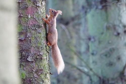 Red Squirrel ( Explore 13th April, 2021 )