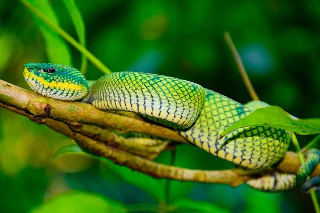 Bornean Keeled Green Pit Viper 1v2  Borneo 2014
