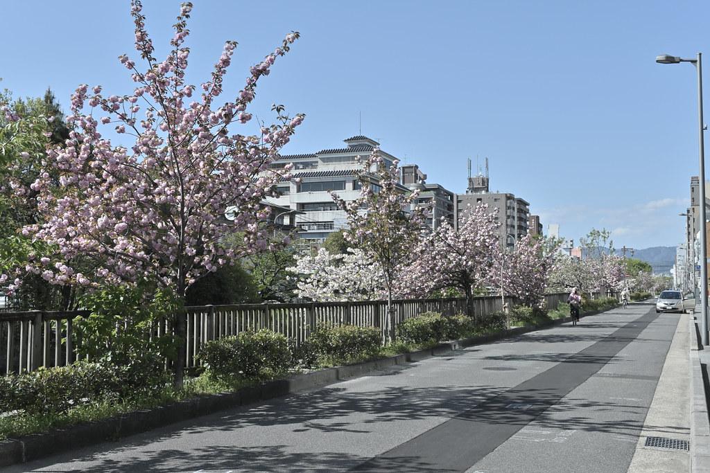 堀川遊歩道の桜並木 10