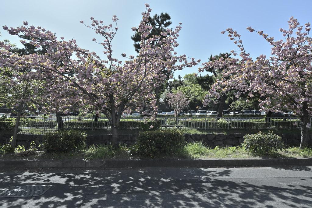 堀川遊歩道の桜並木 14