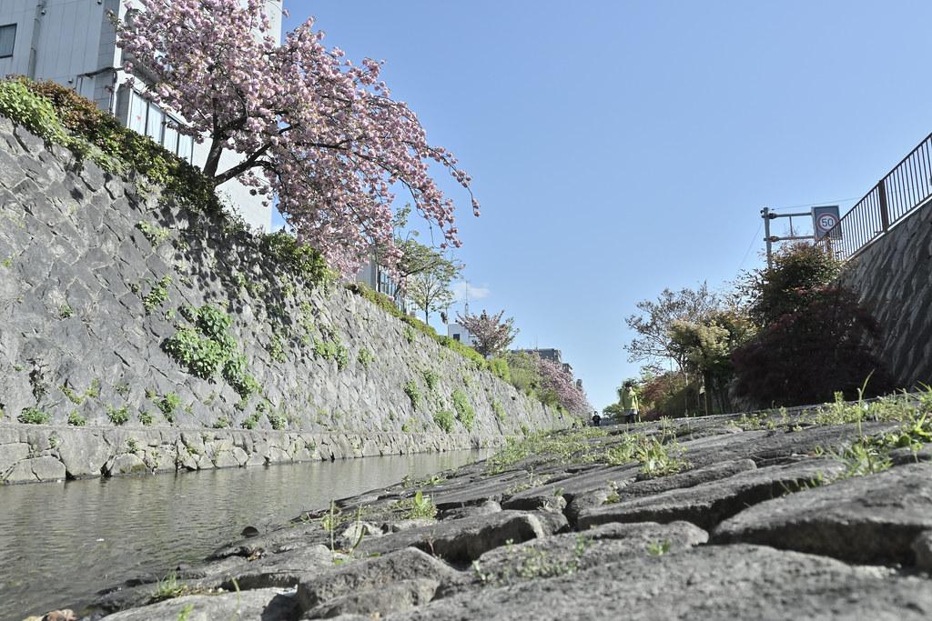 堀川遊歩道の桜並木 15