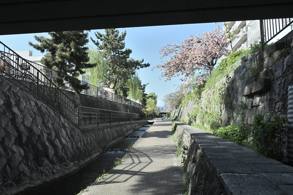堀川遊歩道の桜並木 23