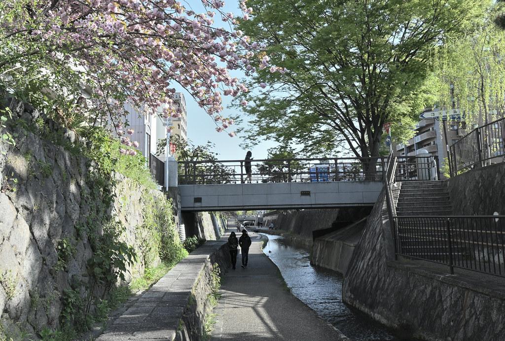 堀川遊歩道の桜並木 25