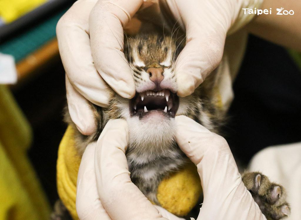 石虎寶寶長牙了。圖片來源:台北市立動物園提供(黃建宸攝)