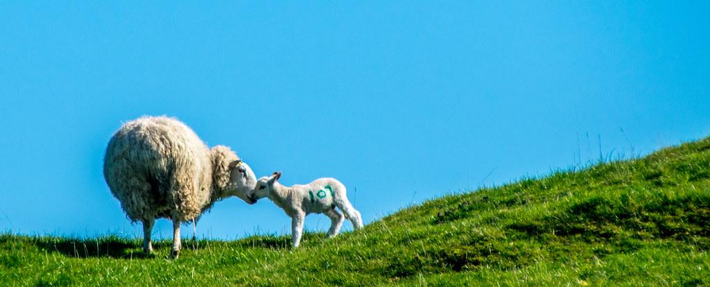 Lamb 107