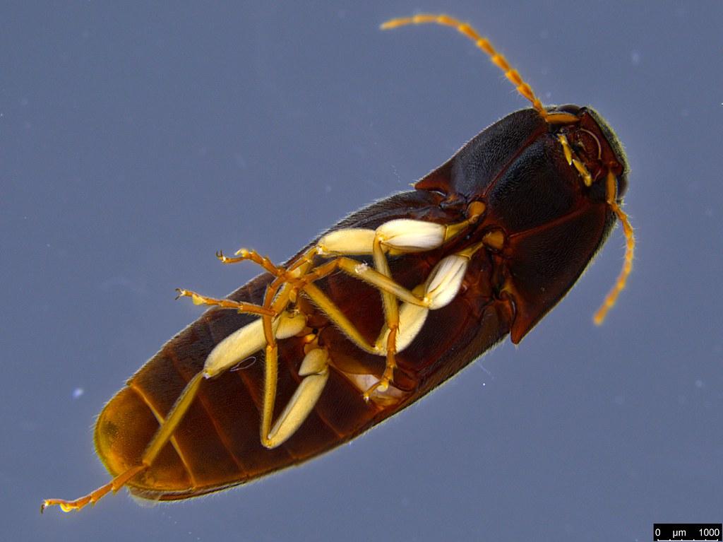 6e - Glyphochilus sp.