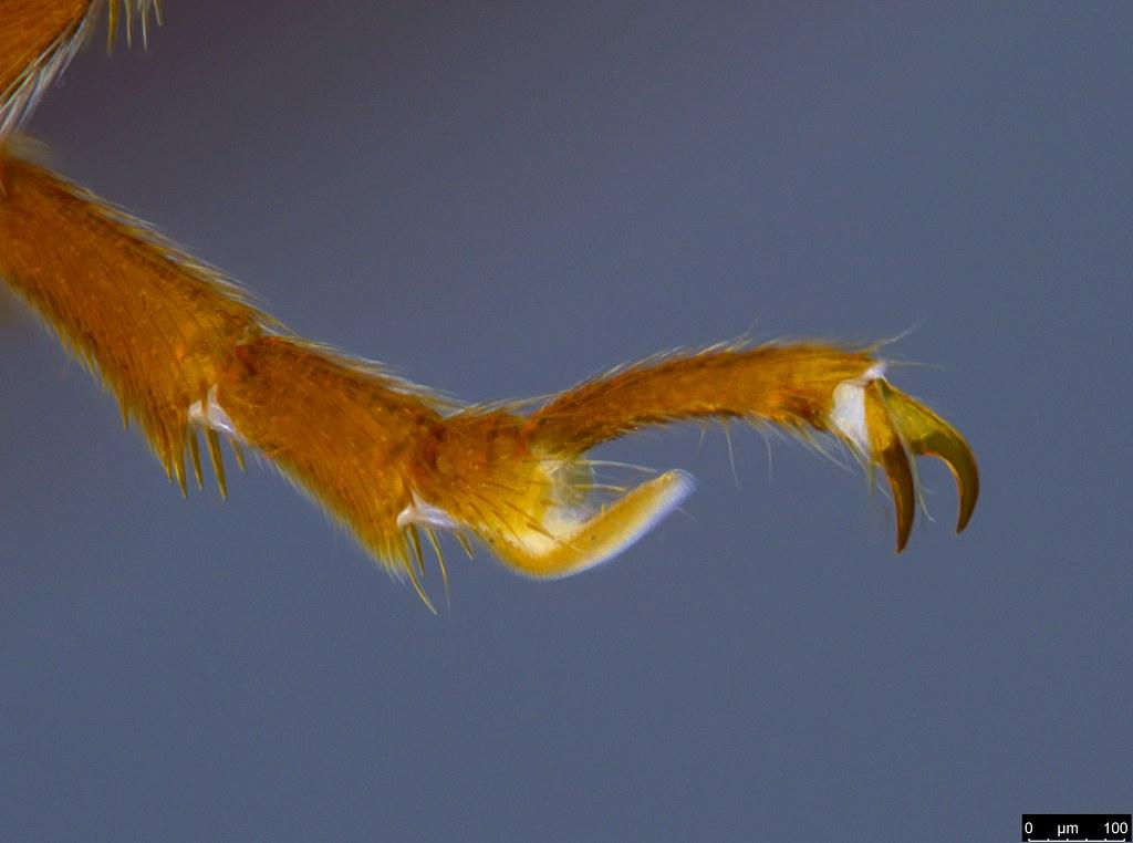 6i - Glyphochilus sp.