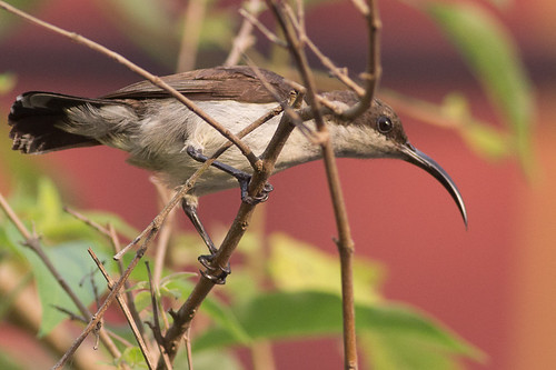 Loten's Sunbird - female