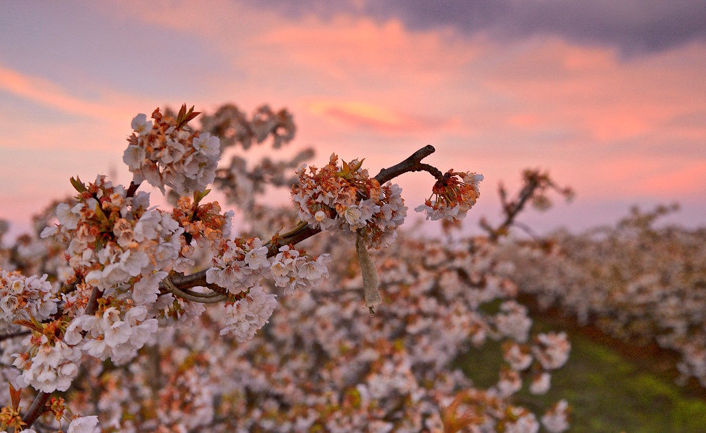 Flores de cerezos 🍒