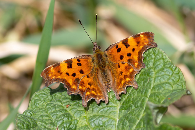 Polygonia c-album / Butterfly