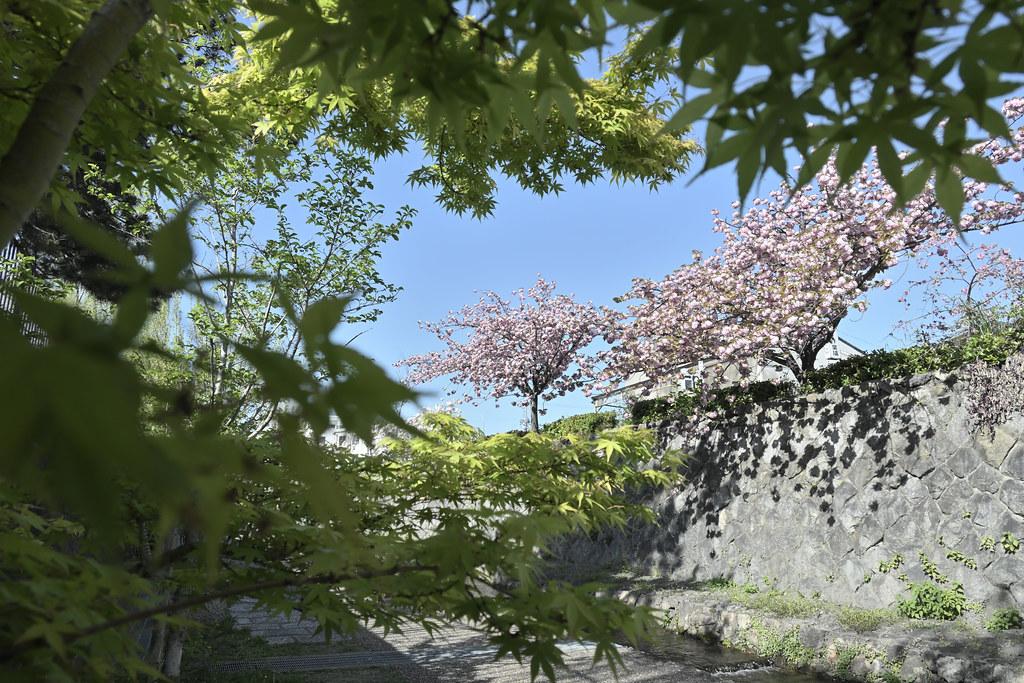 堀川遊歩道の桜並木 1